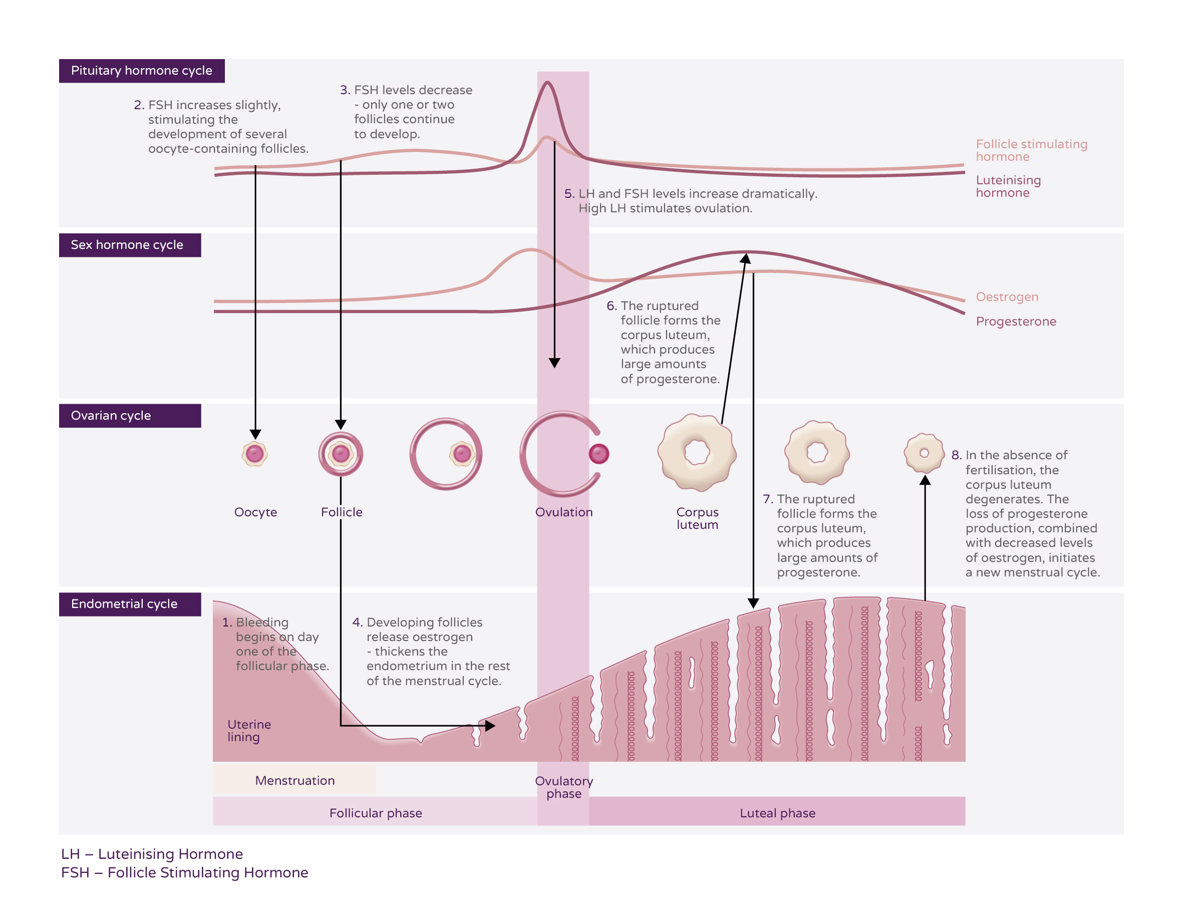 menstrual cycle diagram with ovulation chrysler town and country parts theory ellaone pharmacist uk