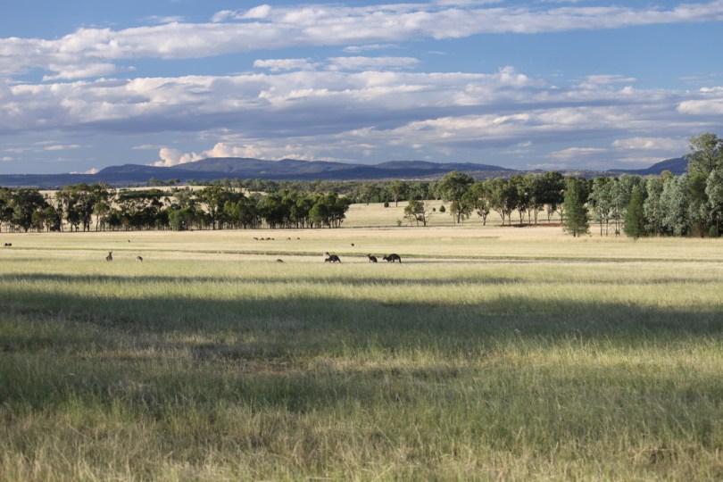 Kangaroos mobbing the airstrip