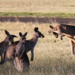 One roo is shy and tries to hide from the paparazzi