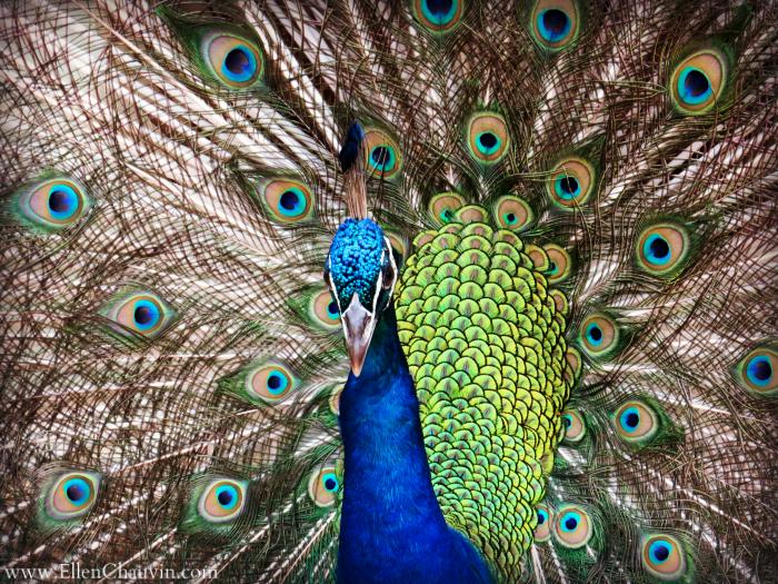 11-17-new-peacock