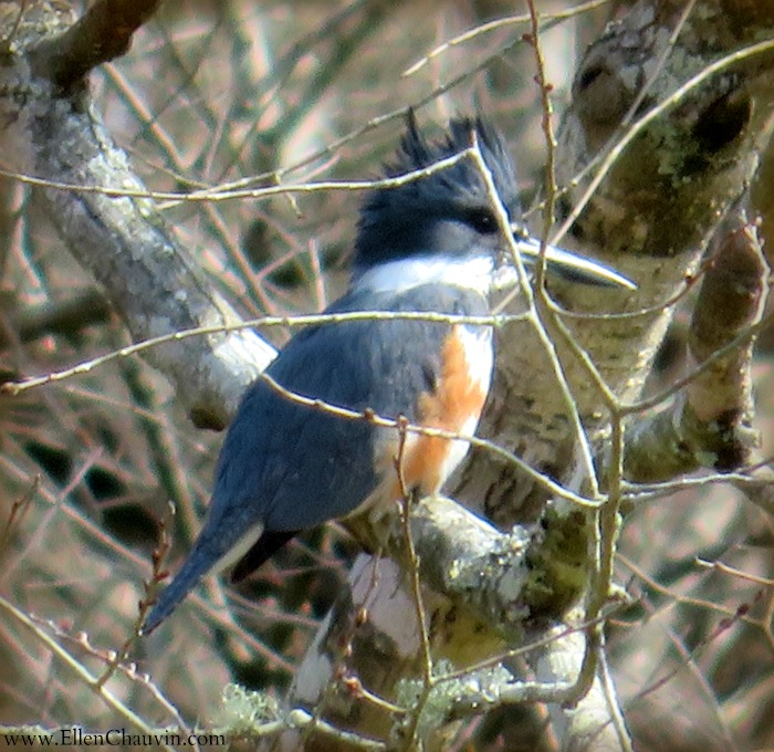 11-17-kingfisher