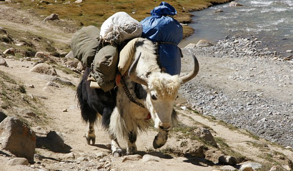 Day 1 of the kora: yak on the trail turning and climbing from the Lha-chu Valley to Dira-puk Monastery (2010)