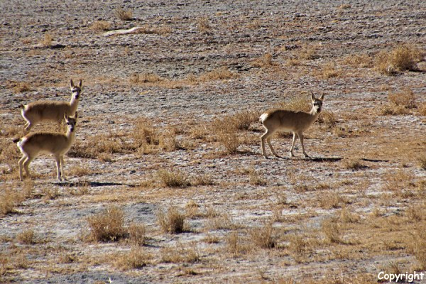 Wildlife at Yamdrok Tso Lake