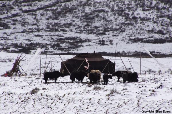 Nomad tent yaks Derge