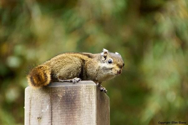 Hailuogou squirrel