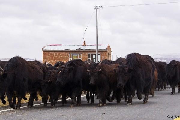 nomad yaks sheep