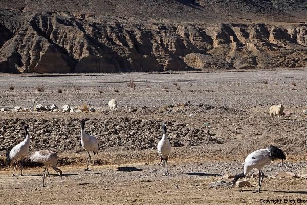 sheep cranes
