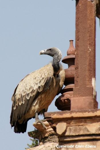 A vulture at the Jahangiri Mahal Palace, Orccha