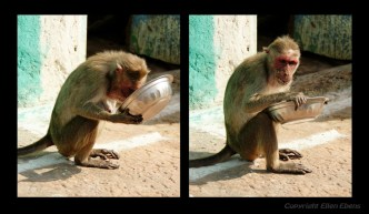 A monkey having a meal of food left in a dish in Badami