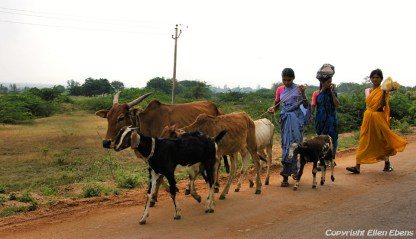 Women with cattle, Hampi