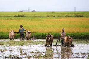 On road from Bago to Kyaikto: working on the fields