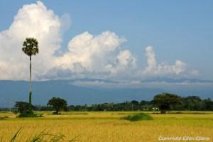Toungoo: rice fields