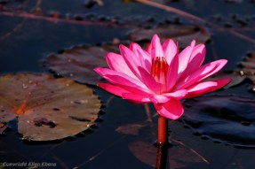 Lotus flower in Inle Lake
