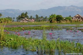 Lotus flowers in Inle Lake