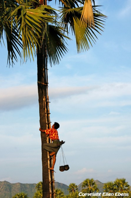 On the road from Bagan to Mount Popa, picking coconuts from the tree