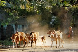 On the road from Bagan to Pyay, cows on the street