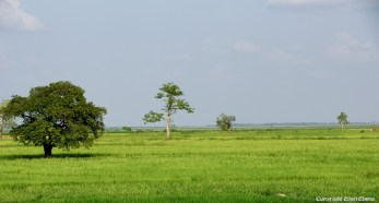 Rice fields on the road from Pyay to Pathein