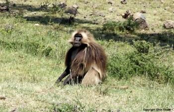Ethiopia baboon