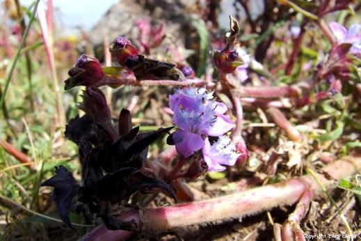 Simien National Park flowers