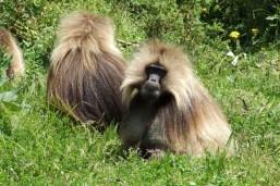 Simien National Park Gelada Baboons