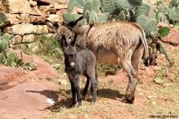 Ethiopia donkeys