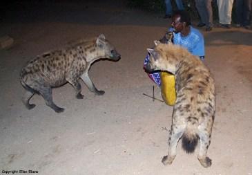 Harar hyena