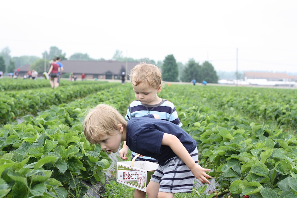 Strawberry Picking at Eckert's Country Store and Farm in Belleville, IL, just outside St. Louis | Liz from Ellie And Addie