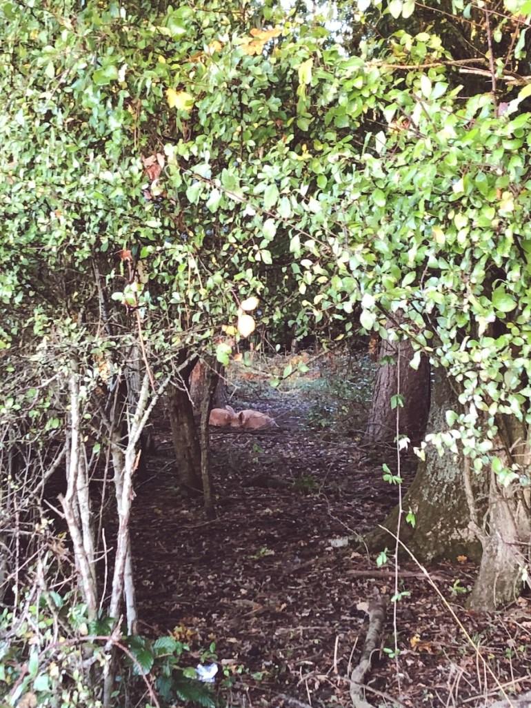wild pigs knepp safaris