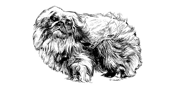 Pekingese dog illustration