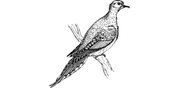 "Pigeon illustration - ""Face Your Fear"" flash fiction"
