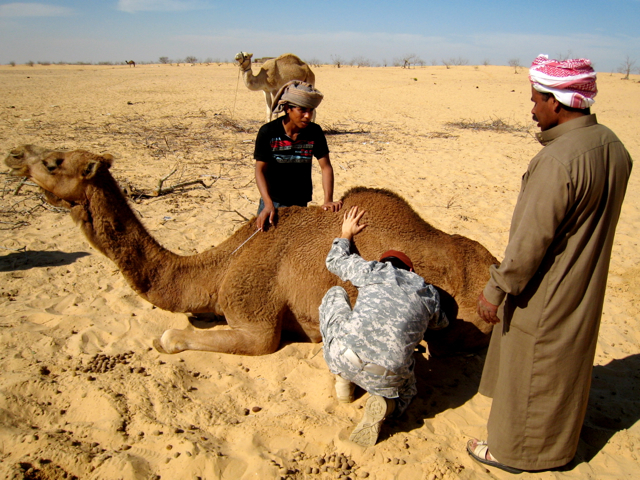 Elliott-Garber-Bedouin-Camel-with-Mastitis