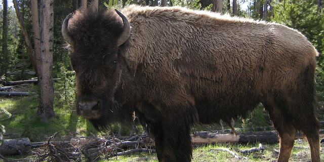 APHIS-Internship-Yellowstone-Bison