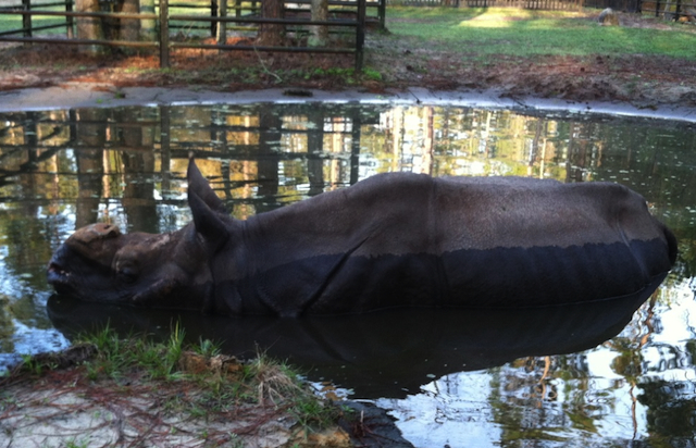 This Indian rhino, named Patrick, really loves his wallow!