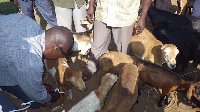 Community-Animal-Health-Worker-sheep-Uganda