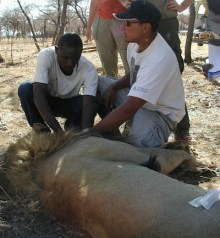 Wild lion immobilization in Namibia.