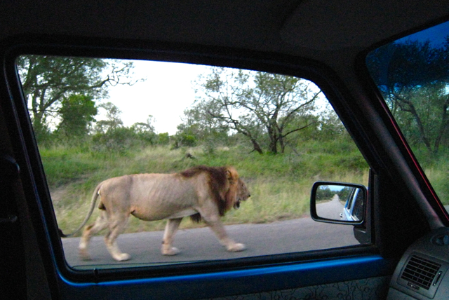 Lion out my rental car's window.