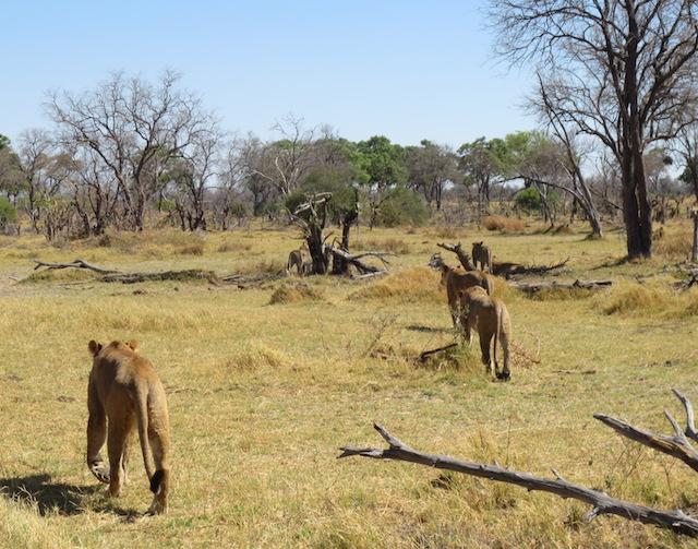 A pride of lions in Khwai, Botswana.