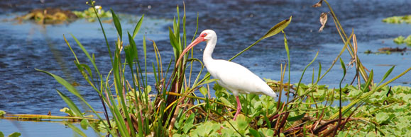 white-ibis-veterinary-wildlife-toxicology