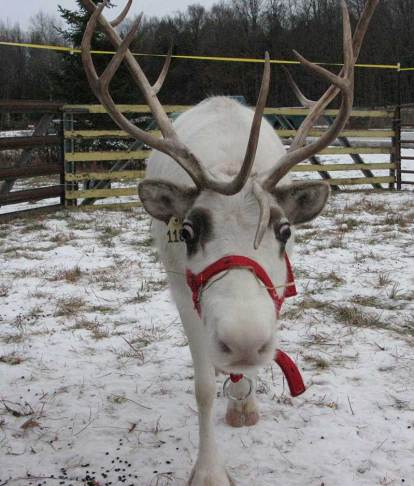 Reindeer on the farm December 6, 7, 13, 14