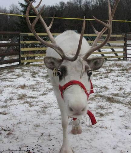Reindeer on the farm December 6, 7, 13, 14