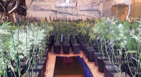 Incautadas 462 plantas de marihuana en dos viviendas de Torrent