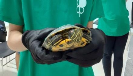 Las tortugas autóctonas del río Turia amenazadas por el abandono incontrolado de tortugas americanas o asiáticas