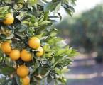 Nueve empresas, una de ellas de Rafelbunyol, realizan el primer envío de naranjas «en frío» a la India