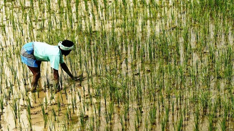 أكثر الدول إنتاجا للأرز