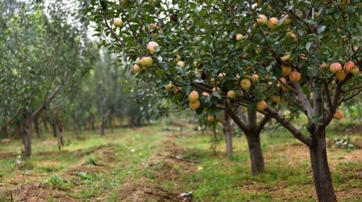 أكثر الدول إنتاجا للتفاح