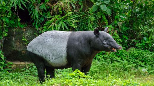 أهم أنواع حيوان التابير