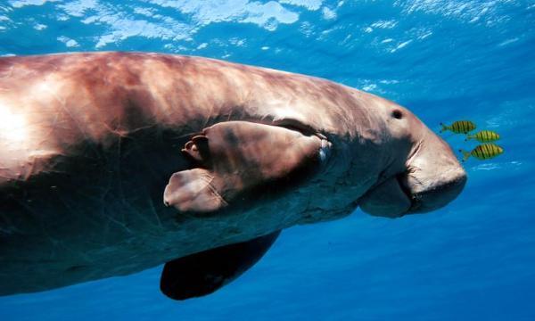 أهم المعلومات عن أبقار البحر
