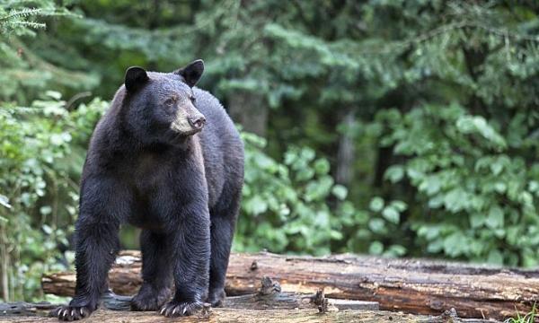 أهم المعلومات عن الدب الأسود