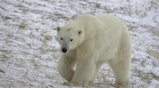 أهم المعلومات عن الدب القطبي