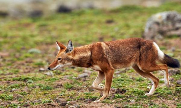 أهم المعلومات عن الذئب الأثيوبي